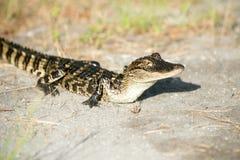 Młody aligator Zdjęcia Royalty Free