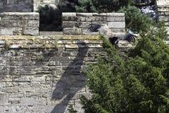 Młody Andyjski kondor, Vultur gryphus latanie/ Zdjęcia Royalty Free
