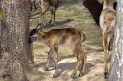 Młody baranek moufflon chodzi w zoo Zdjęcia Royalty Free