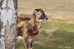 Młody baranek moufflon chodzi w zoo Obraz Stock