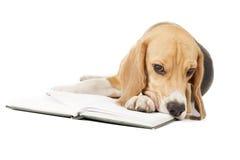 Młody beagle Obraz Royalty Free