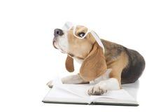 Młody beagle pies Zdjęcia Royalty Free