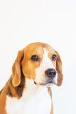 Młody beagle psa studia portret Fotografia Royalty Free