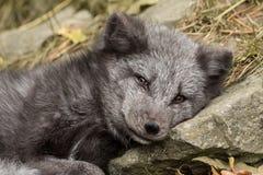 Młody biegunowy lis odpoczywa na skale Zdjęcie Royalty Free