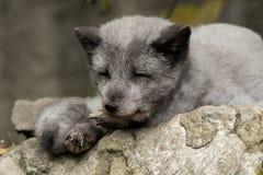 Młody biegunowy lis odpoczywa na skale Obrazy Royalty Free