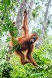 Młody Bornean Orangutan na drzewie w naturalnym siedlisku Zdjęcia Royalty Free