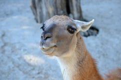 Młody Brown lama portret Fotografia Royalty Free