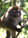 Młody Brown lemur Obrazy Stock