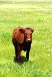 Młody byk Zdjęcia Stock