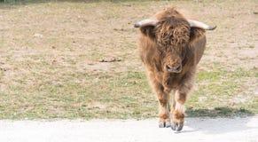 Młody byk na kraju safari gospodarstwie rolnym Fotografia Stock
