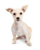 Młody chihuahua Crossbreed szczeniak Patrzeje Naprzód Obraz Royalty Free