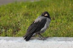 M?ody Corvus cornix w europejskim mie?cie obrazy stock