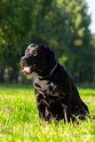 Młody czarny Labrador retriever Zdjęcie Stock