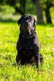 Młody czarny Labrador retriever Fotografia Stock