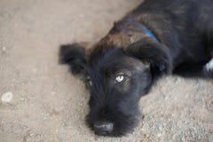 Młody czarny pies fotografia stock