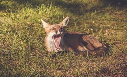 Młody Czerwony Fox ziewa szerokiego Fotografia Royalty Free