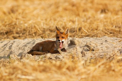 Młody czerwony lis Obraz Stock