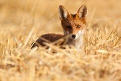 Młody czerwony lis Fotografia Stock