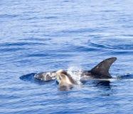 młody delfinów Obraz Stock