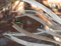 Młody dragonfly Obraz Stock