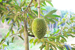 Młody durian Obrazy Stock