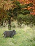 Młody dziki knur w jesieni Zdjęcie Stock