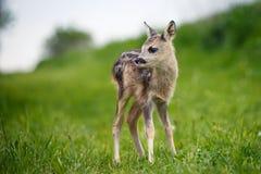 Młody dziki roe rogacz w trawie, Capreolus capreolus Nowonarodzeni roe Zdjęcia Royalty Free
