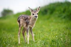 Młody dziki roe rogacz w trawie, Capreolus capreolus Nowonarodzeni roe Zdjęcie Stock