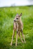 Młody dziki roe rogacz w trawie, Capreolus capreolus Nowonarodzeni roe Obraz Royalty Free