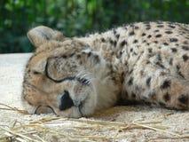 Młody gepard Obrazy Royalty Free