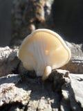 młody grzyb pieczarka Zdjęcie Royalty Free