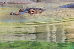 Młody hipopotam Obrazy Stock