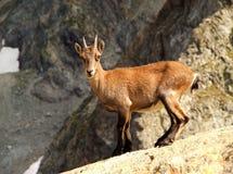 młody ibex Obraz Stock