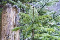 Młody Jedlinowy drzewo po ranku deszczu w Adirondack górach Zdjęcie Royalty Free