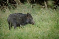 Młody knura foraging Fotografia Royalty Free