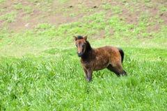 Młody konik w zielonym polu Zdjęcia Stock