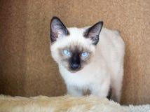 Młody kot, figlarka Siam orientalny traken, bobtail Mekong Obraz Stock