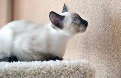 Młody kot, figlarka Siam orientalny traken, bobtail Mekong Obrazy Stock