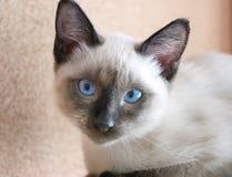 Młody kot, figlarka Siam orientalny traken, bobtail Mekong Zdjęcie Royalty Free
