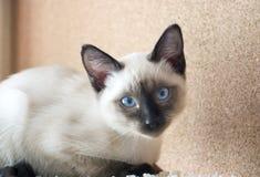 Młody kot, figlarka Siam orientalny traken, bobtail Mekong Fotografia Royalty Free