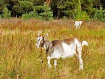 młody kozie Zdjęcia Royalty Free