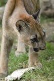 Młody kuguar Obrazy Royalty Free