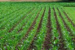 Młody kukurydzany pole Obraz Stock