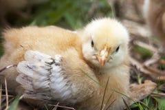 młody kurczaków Obrazy Royalty Free