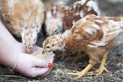 młody kurczaków Obraz Stock