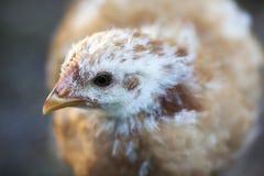 młody kurczaków Obraz Royalty Free