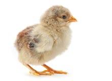 Młody kurczak Obraz Stock