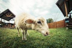 Młody lambkin w łące zdjęcie stock