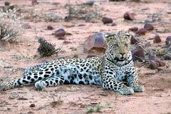 Młody lampart w Etosha niecce - Namibia Africa zdjęcia royalty free