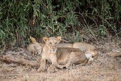 Młody lew chroni jego matki Obrazy Royalty Free